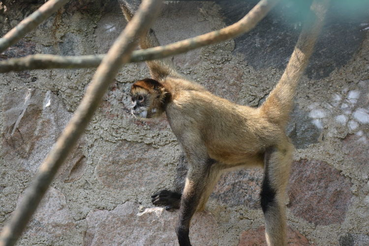 Side view of a monkey against the wall
