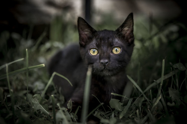 Close-up portrait of black cat on field