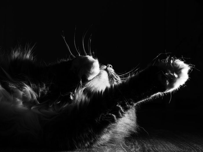 BnW Cat, Darkness, abstract Whisker Close-up Black Background Indoors  No People Domestic Cat Domestic Animals Feline Domestic Pets Vertebrate Cat Mammal Animal Animal Themes One Animal Indoors  Lying Down Relaxation Animal Body Part Studio Shot Flooring Animal Head  Profile View