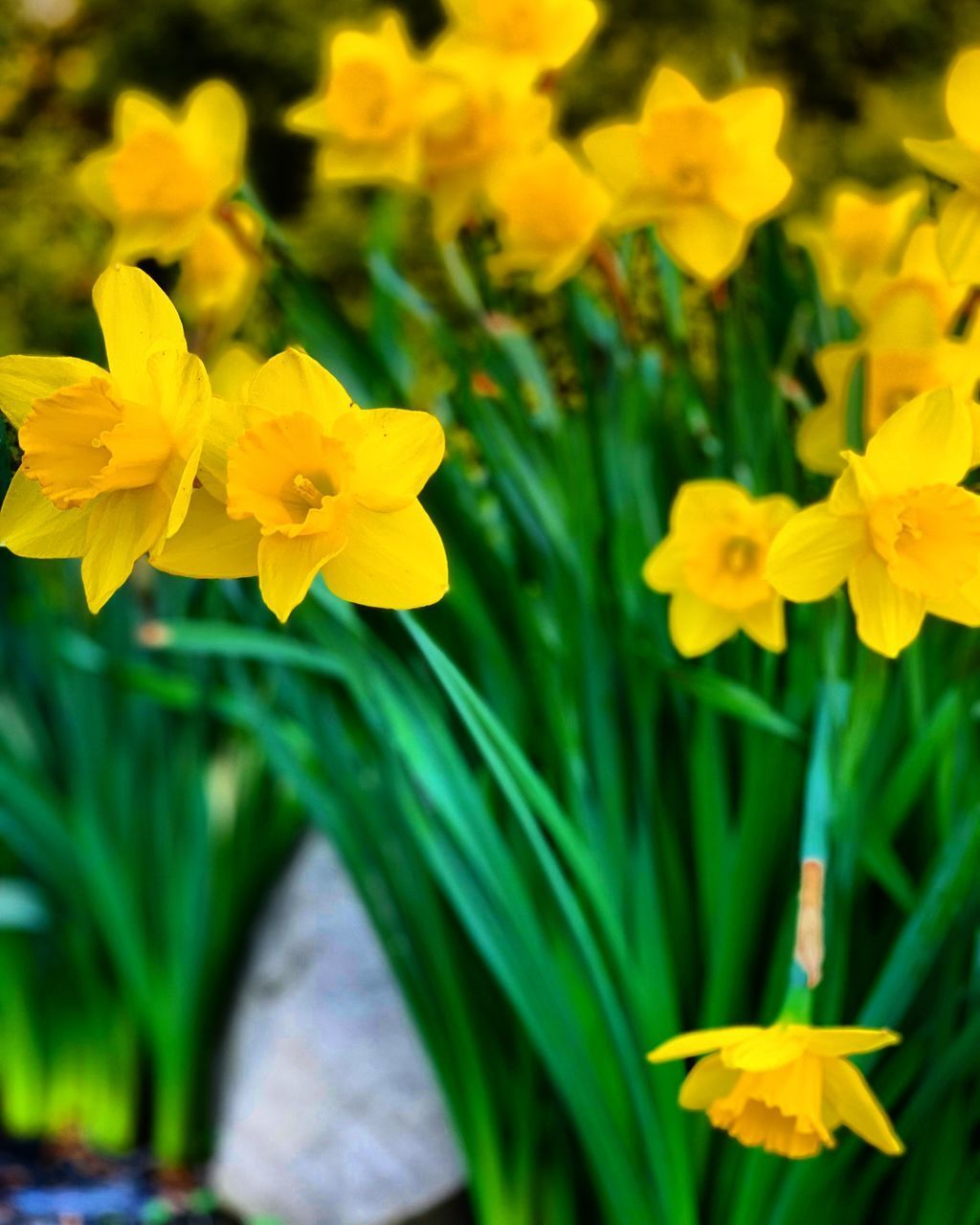 flowering plant, flower, plant, freshness, fragility, vulnerability, yellow, beauty in nature, growth, close-up, petal, nature, flower head, inflorescence, daffodil, no people, day, botany, green color, selective focus, outdoors, springtime, flowerbed