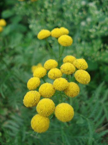 Chrysanthemum Vulgare Rainfarn Wurmkraut Beauty In Nature Blooming Flower Flower Head Green Color Nature No People Outdoors Yellow