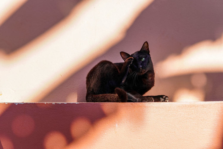 Black cat sitting and scratching its face