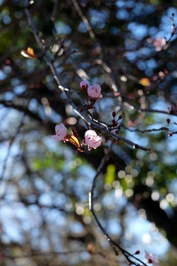In blossom Springtime Pink Flower Pink Tree Branch Flower Nature Growth Fragility Beauty In Nature Low Angle View Outdoors