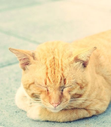 The lazy cat is