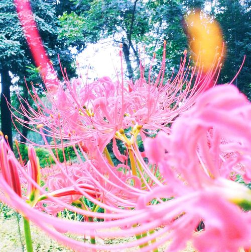 Flowers red spider lily