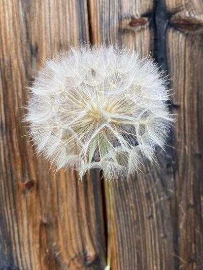 Close-up of dandelion on wood