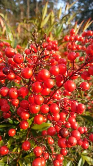 Tree Fruit Red Rowanberry Close-up Food And Drink