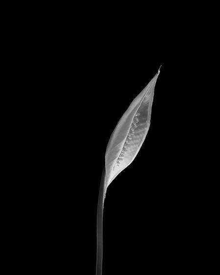 Close-up of leaf against black background