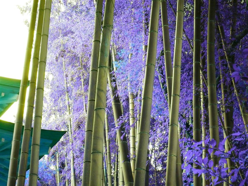 Strenge bamboo Relaxing Wonder Nature Nature Photography Enjoying The View Plants AW130