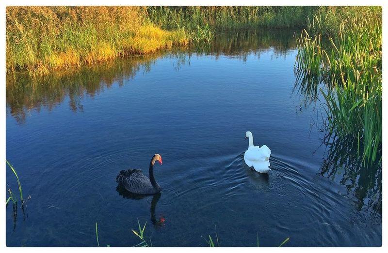 Birds Black And White Swans Black Swan Nature Rotterdam Swan Swans Urban Nature White Swan Zevenhuizerplas