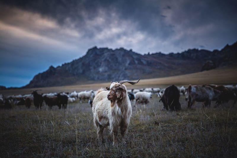 Mongolia Livestock Field Domestic Animals Animal Themes Sky Mountain Beauty In Nature Outdoors Grass Autumn Agriculture Large Group Of Animals Mongolia Ulaanbaatar Mongolian Nature EyeEm Nature Lover EyeEm Best Shots Working Animal Motion Sheep Sunrise Fresh On Market 2016