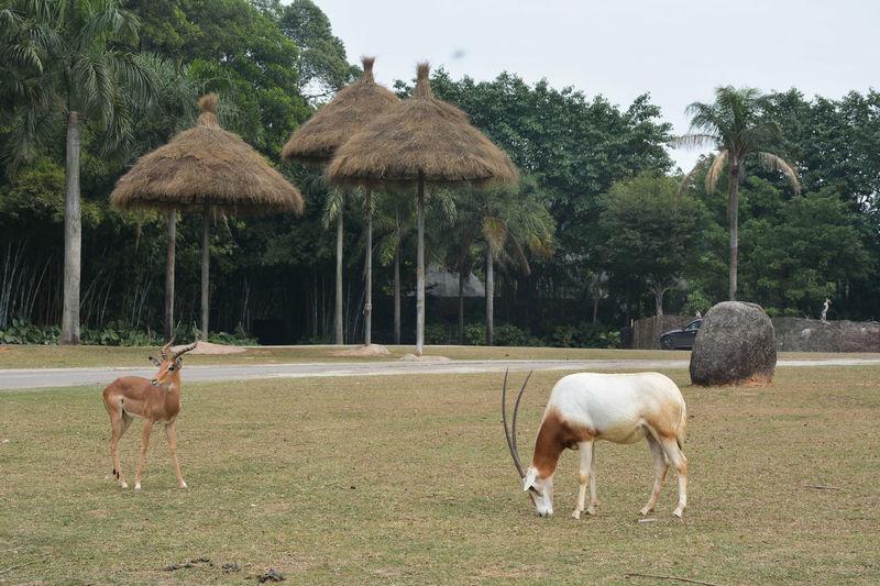 Antelopes on grassy field