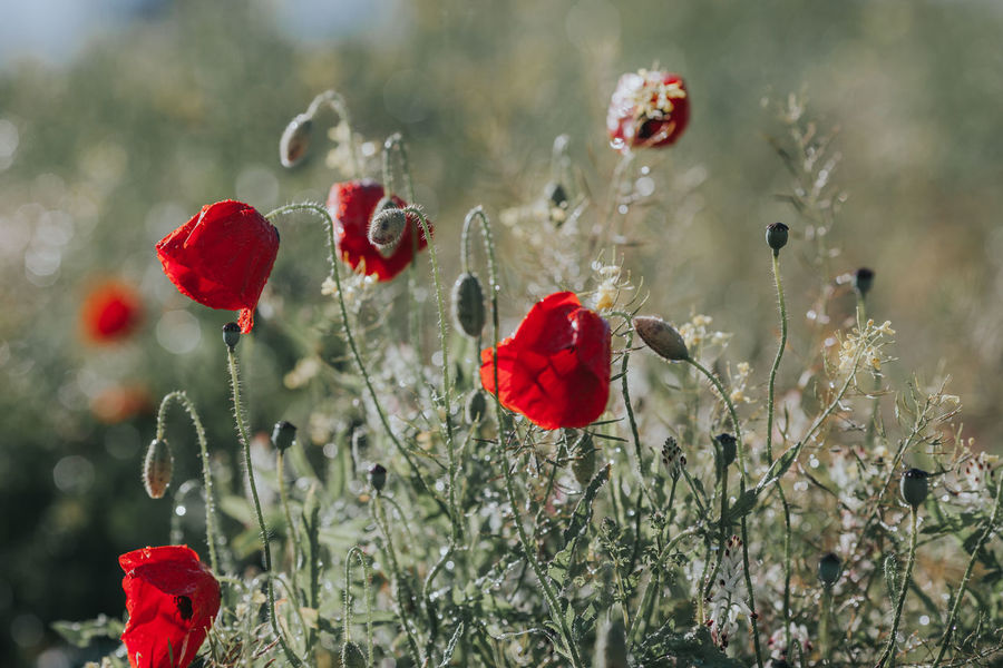 Herbaceous Nature Papaveraceae Papaveroideae Alentejo Annual Beauty In Nature Day Flower Flower Head Flowering Plant Fragility Freshness Growth Inflorescence Nature Petal Plant Poppies  Poppy Poppy Flower Poppy Flowers Spring Springtime Vulnerability
