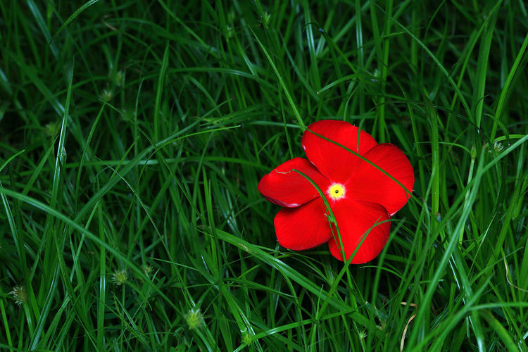 The only red flower on green grass. Beauty In Nature Blooming Close-up Day EyeEm Minimalism EyeEm Nature Lover Field Flower Flower Head Fragility Freshness Grass Green Color Growth Less Is More Minimal Minimalism Minimalist Photography  Nature No People Outdoors Petals Red Simple Photography Simplicity