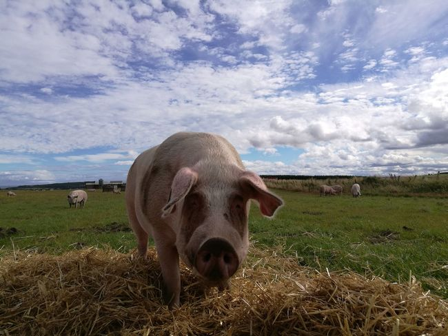 Animal Themes Pig Pig Farming Livestock Cloud Front View Scotland 💕 Animal Themes Domestic Animals Grass Mammal Field Livestock Grazing Herbivorous Sky Grassy Standing Animal Head