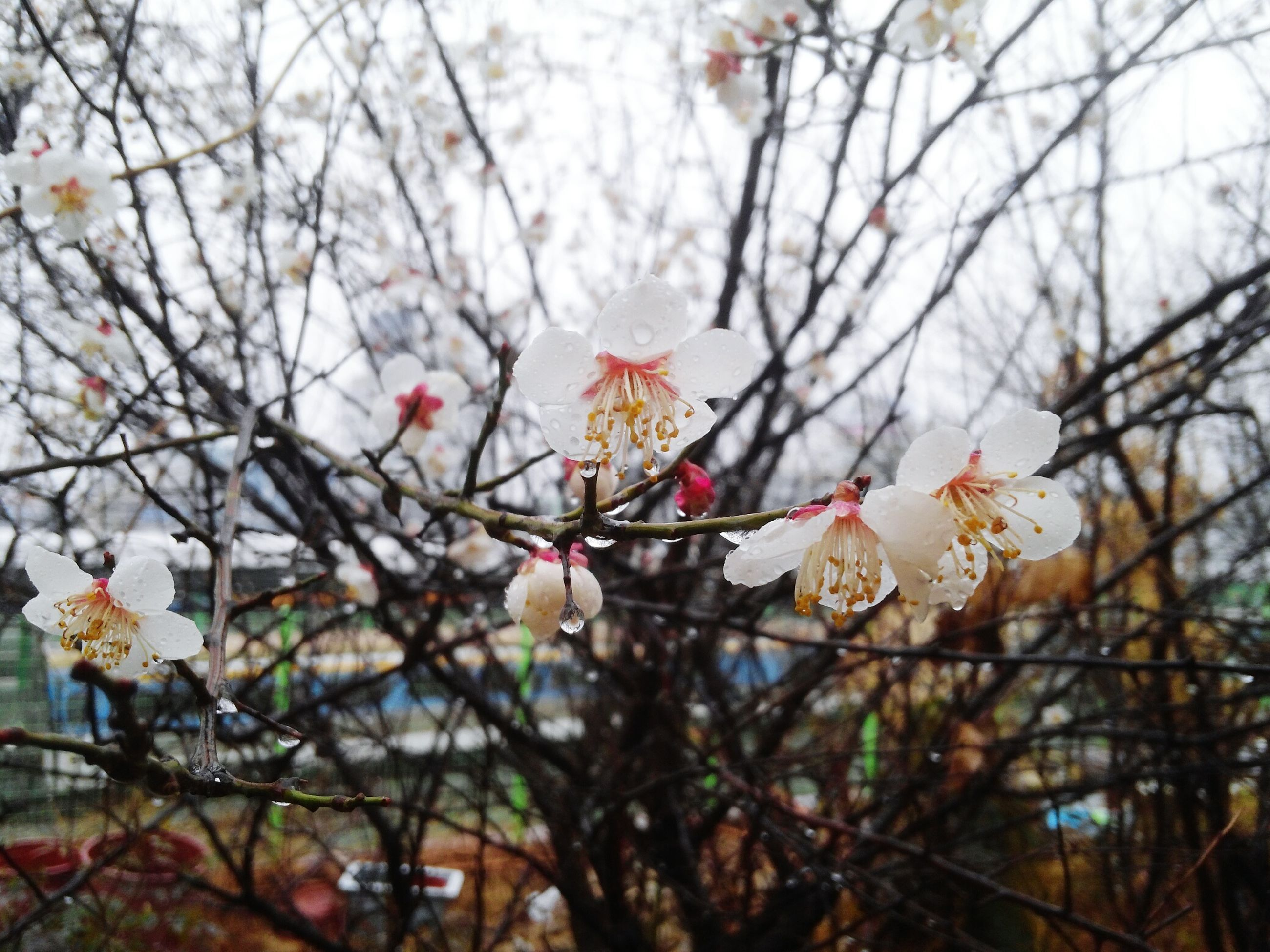 branch, flower, tree, low angle view, white color, cherry blossom, fragility, freshness, blossom, growth, twig, cherry tree, nature, focus on foreground, fruit tree, petal, beauty in nature, close-up, apple tree, apple blossom