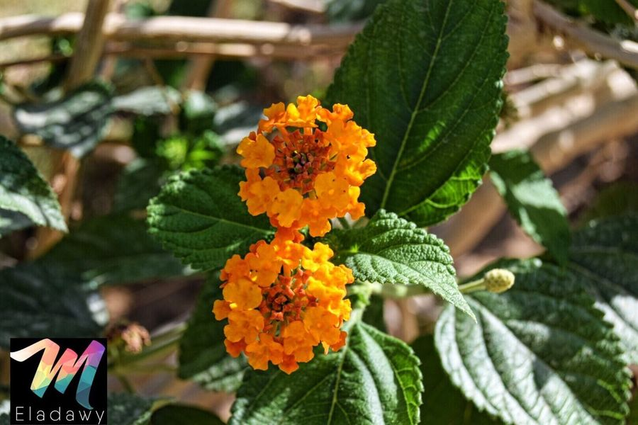Flower Leaf Freshness Growth Green Color Beauty In Nature Fragility Day Nature Plant Flower Head Lantana Camara Outdoors Petal No People Close-up Blooming Sokhabeach