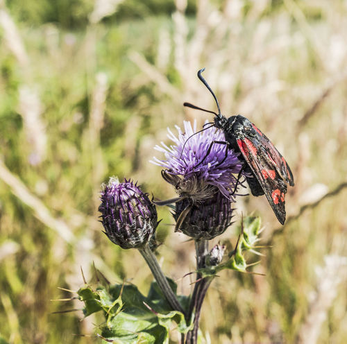A burnet moth,Zygaena filipendulae, on a thistle. Burnet Moth Butterfly - Insect Forester Insect Lepidoptera Nature Pollination Thistle Zygaeenidae Zygaena Filipendulae