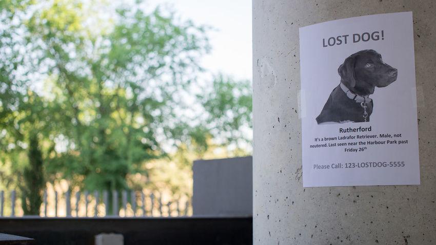 Lost Wanted Dog Labrador Retriever Lost Dog Pet Reward Wantedposter