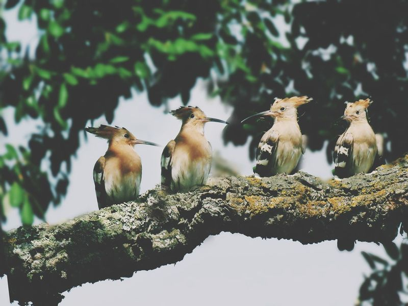 EyeEm Selects Animal Wildlife Tree Perching Day Nature Branch Animals In The Wild Bird No People Outdoors Animal Themes Reptile Close-up Low Angle View Beauty In Nature Nature Beak Animals In The Wild Hoopoe Hoopoes