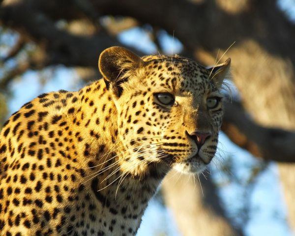 Okavango Delta 201406 Okavango Delta Botswana Lepard Wildlife