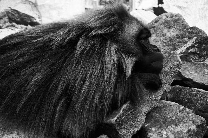 Primate Monkey Mammal Animal Animal Themes Animal Wildlife Animals In The Wild One Animal Vertebrate Ape Animal Hair Rock Focus On Foreground Day No People Hair Solid Rock - Object Close-up Nature Zoo Baboon Blackandwhite Monochrome