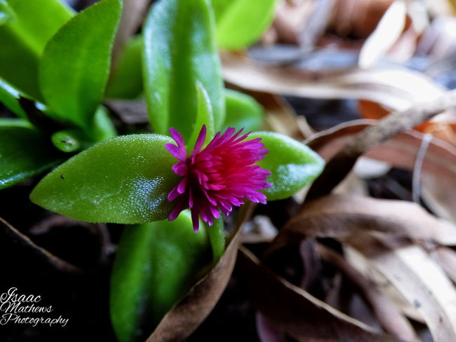 Beauty In Nature Close-up Flower ICE PLANT Nature Plant Popular Photos Succulents