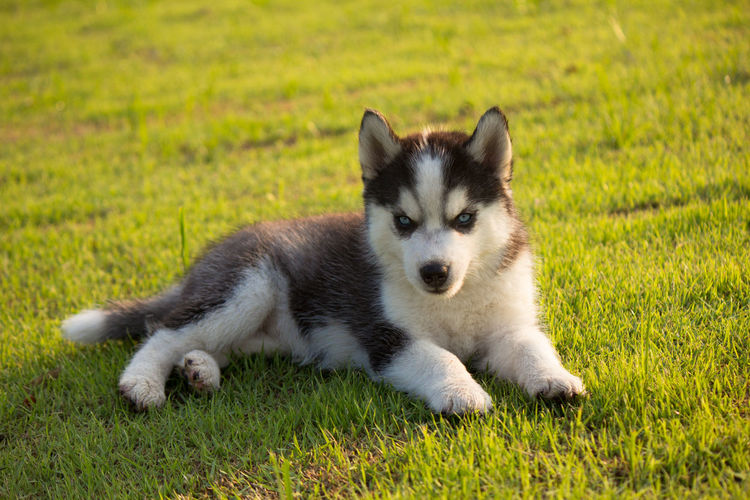 Dog relaxing on grassy field