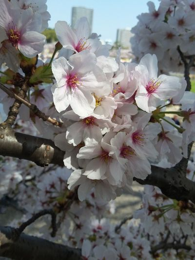 さくら Sakura Flower Blossom 岡崎 Japan Flowering Plant Flower Plant Beauty In Nature Fragility Growth Blossom Springtime