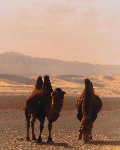 Camels in gobi desert, mongolia