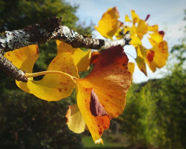 Ginkgo Biloba Japanesetree Treeart LeavesChanging ShadesOfFall Naturelovers Closeup EyeEmNewHere