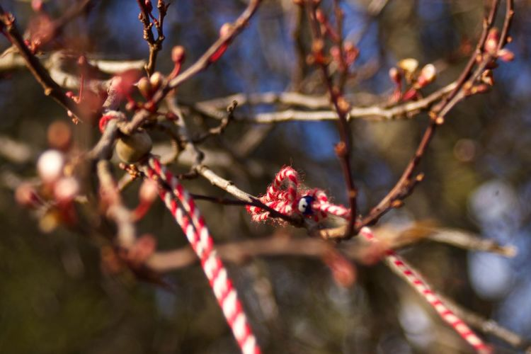 Blossom Bokeh Branch Bud Charms Cherry Blossoms Close-up Depth Of Field Nature No People Red Selective Focus Springtime Twig