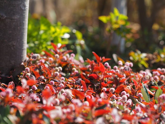 Red Plant Selective Focus Beauty In Nature Close-up Day No People Growth Nature Flower Freshness Flowering Plant Vulnerability  Spice Fragility Outdoors Pepper Orange Color Plant Part Leaf Olympus Fukuoka Japan
