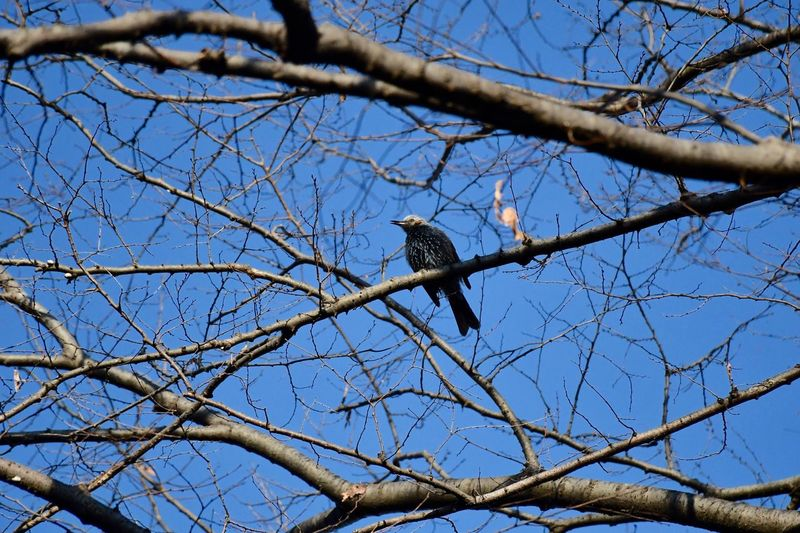 Common Starling Bird In The Wild Tree Branch Sky Nature Animals In The Wild Clear Sky Outdoors Bird Blue Day Animal Wildlife Bare Tree