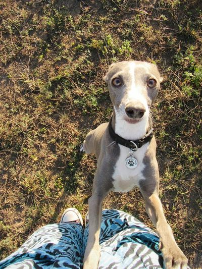 My special creature Dog Dogslife Doglover DogLove My Dog Italian Greyhound Blue Dog Purebred Love Happiness Beauty In Nature Outdoors EyeEmNewHere Best Dog