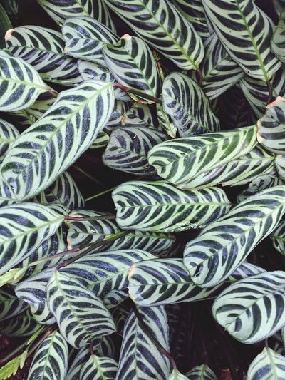 Calathea Copy Space Backgrounds Full Frame Backgrounds No People Pattern Green Color High Angle View Day Beauty In Nature Repetition Strength Abundance Outdoors Nature Plant Part Green