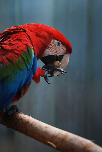 Red and blue macaw at the zoo