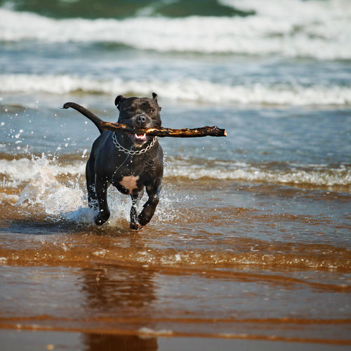 Dog Running With Stick On Beach