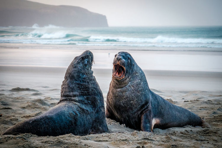 Sea lions on the beach, south of dunedin, new zealand