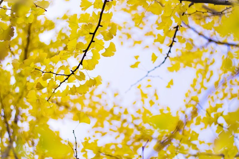 Low angle view of ginkgo tree branches during autumn