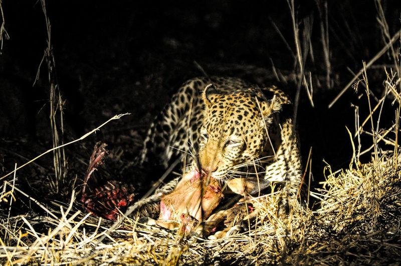 Leopard Eating Prey In Shadow At Kruger National Park