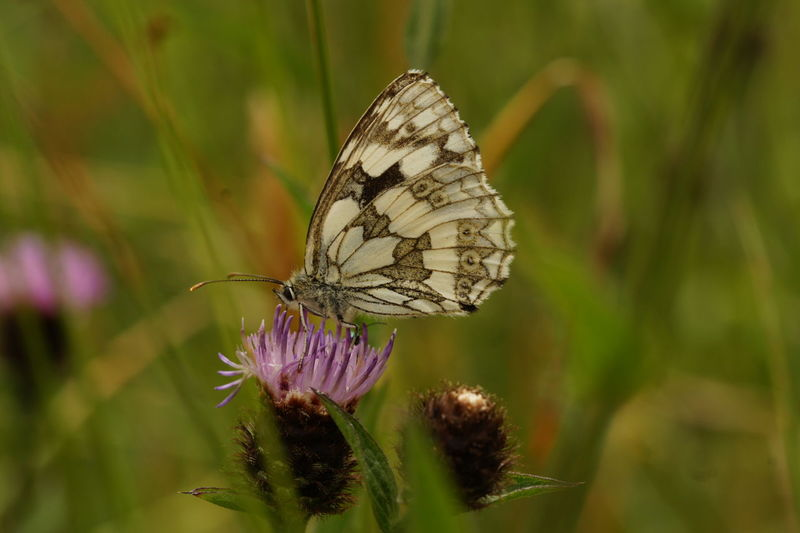 Animals In The Wild Beauty In Nature Butterfly Butterfly - Insect Close-up Day Flower Fragility Freshness Insect Nature No People One Animal Outdoors Plant