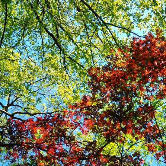 Backgrounds Full Frame Low Angle View No People Day Outdoors Nature Silent Moment Lookingup Maple Maple Leaves Maple Tree Green & Red Contrast Squarepic Todoroki Valley Japan EyeEmNewHere Clear Sky Abstract