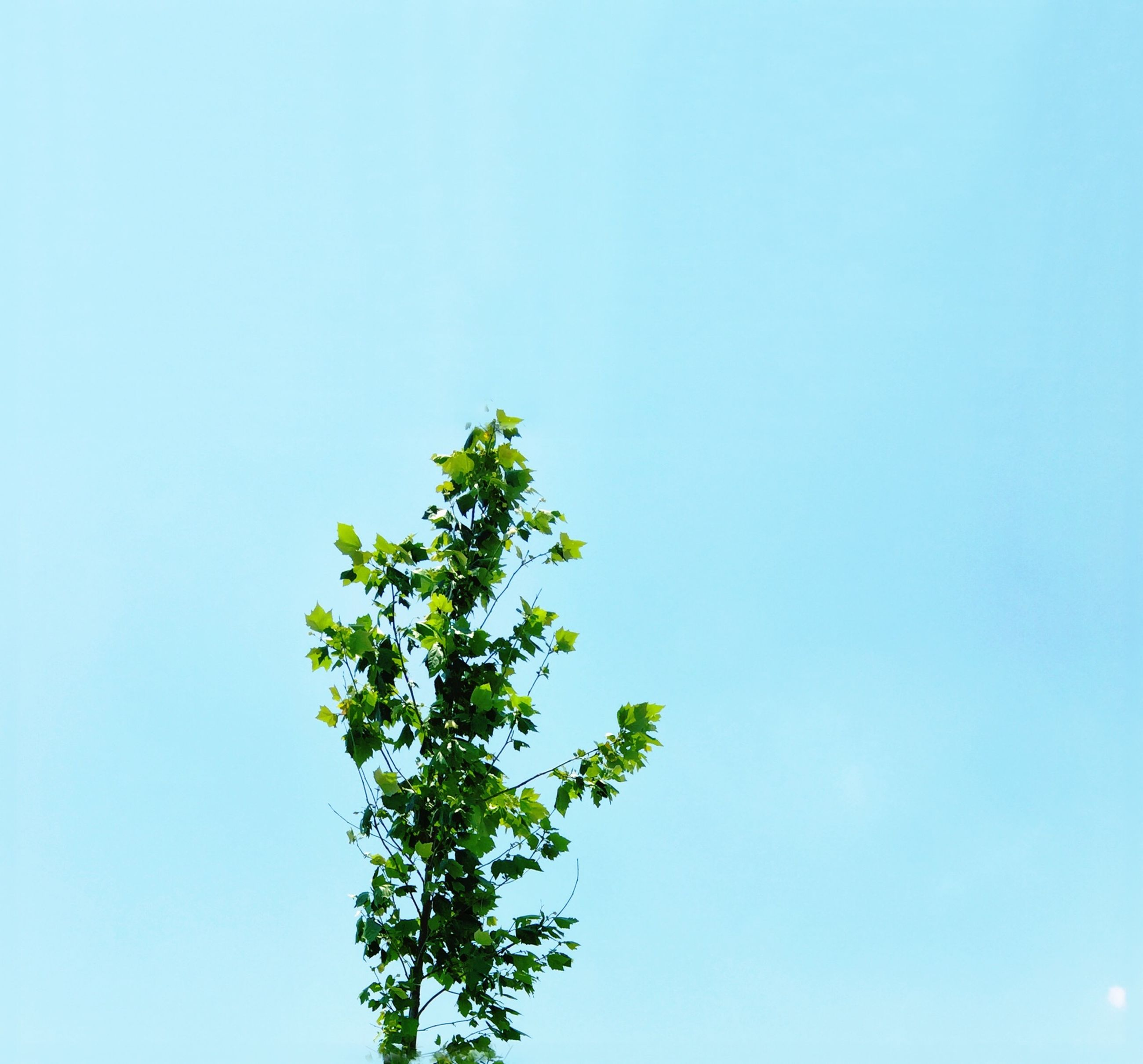 clear sky, copy space, low angle view, blue, growth, nature, beauty in nature, green color, leaf, plant, tree, tranquility, day, no people, high section, outdoors, freshness, green, sunlight, scenics