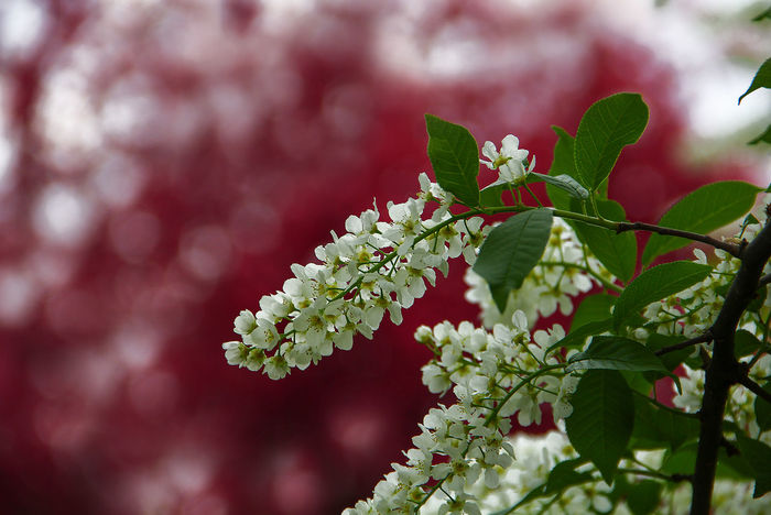 Beauty In Nature Blooming Bokeh Love Branch Close-up Day Flower Flower Head Fragility Freshness Growth Inflorescence Leaf Nature No People Outdoors Plant Prunus Padus Red And White Red And White Colour Red And White Flower Spring Springtime