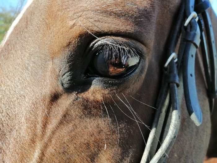 A brown horse looking into the camera close-up with a bridle on it
