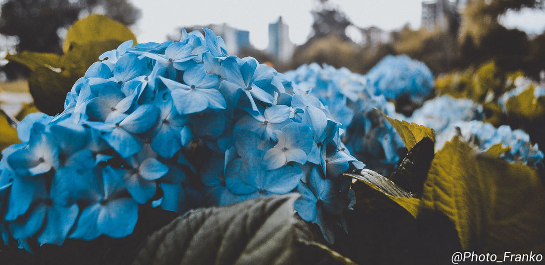 Beauty In Nature Blue Close-up Day Flower Flower Head Focus On Foreground Fragility Freshness Leaf Nature No People Outdoors