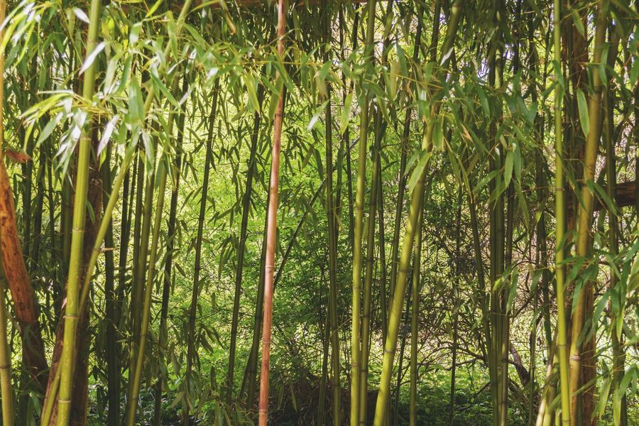 Bamboo Forest Bamboo - Plant Plants Bamboo Bamboo Trees Bamboo Forest Forest Green Background Growth Growing