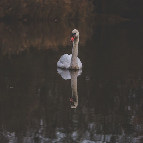 White swan Animal Themes Animal Wildlife Animals In The Wild Bird Day Lake Nature One Animal Outdoors Swan Swimming Water Waterfront Wildlife Wildlife & Nature