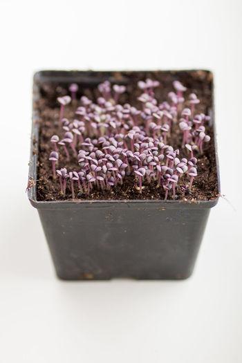 Ocimum basilicum, basil seedlings Basil Herb Herbs Home Grown Ocimum Basilicum Plants Plants 🌱 Raw Basil Seed Healthy Lifestyle Herb Gardening Home Grown Food Plant Based Raw Food Seedling Spices Spices And Herbs